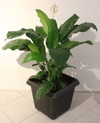How to Grow a Healthy Peace Lily